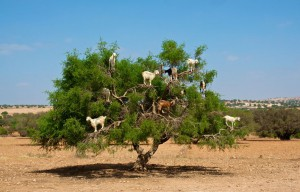 Moroccan goats in an Argan tree (Argania spinosa) eating Argan nuts